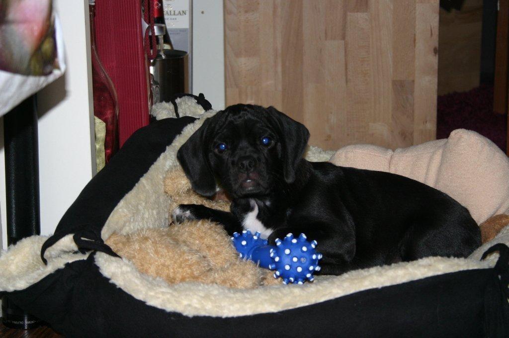 Evi hat die Ausbildung zum Therapiehund mit Pravour bestanden