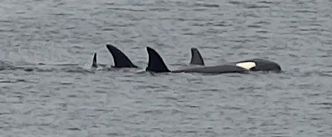 Orcas vor Vandve