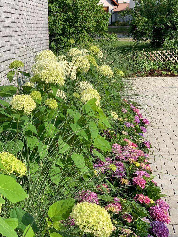 Vorgarten mit Hortensien und Gräsern