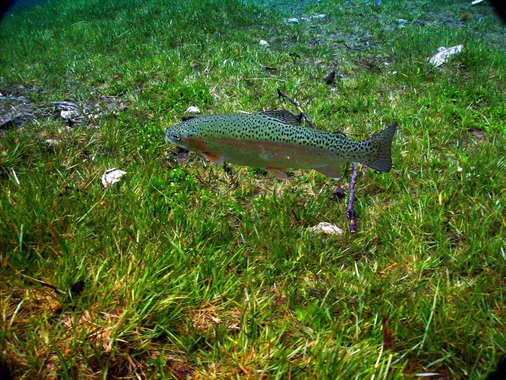 Forelle im Grüner See