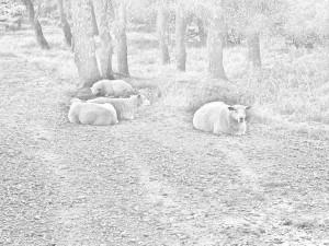 Diese Graustufenfotografie von Thorsten Hülsberg zeigt eine kleine, liegende Schafherde.