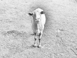 Dieses graustufige Foto von Thorsten Hülsberg zeigt ein Schaf.
