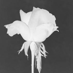 Dieses Bild von Thorsten Hülsberg zeigt eine invertierte Rosenblüte mit einem Stück Stil in monochrome.