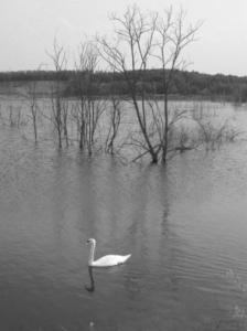 Diese Schwarzweißfotografie von Thorsten Hülsberg zeigt einen Schwan in einer überfluteten Landschaft.