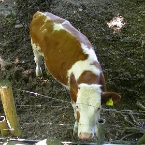 Diese quadratische Farbfotografie von Thorsten Hülsberg zeigt eine junge Kuh auf verschlammten Bauschutt hinter einem Stacheldrahtzaun.
