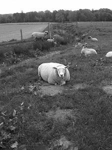 Schwarzweißfotografie einer Schafwiese mit einem Schaf, welches in die Kamera schaut.