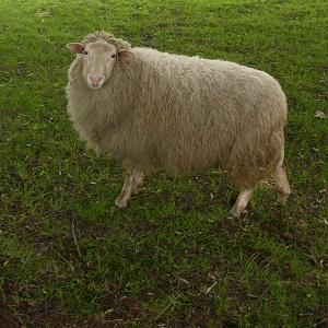 Diese quadratische Farbfotografie von Thorsten Hülsberg zeigt ein Schaf auf einer grünen Wiese.