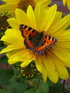 Diese fast schon kitschige Farbfotografie von Thorsten Hülsberg zeigt Sonnenblumen und Schmetterlinge.