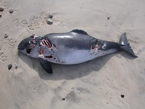 Dieses Farbfoto von Thorsten Hülsberg zeigt einen toten, angefressenen Fisch an einem Strand in Dänemark.