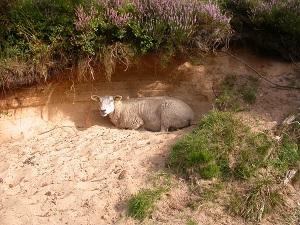 Diese Farbfotografie von Thorsten Hülsberg zeigt ein ruhendes Schaf.