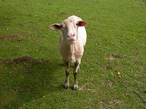 Diese Farbfotografie von Thorsten Hülsberg zeigt ein Schaf auf einer Weide.