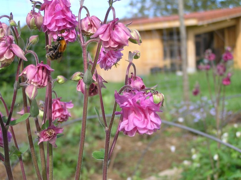 pollinisation ancolie var. ancienne