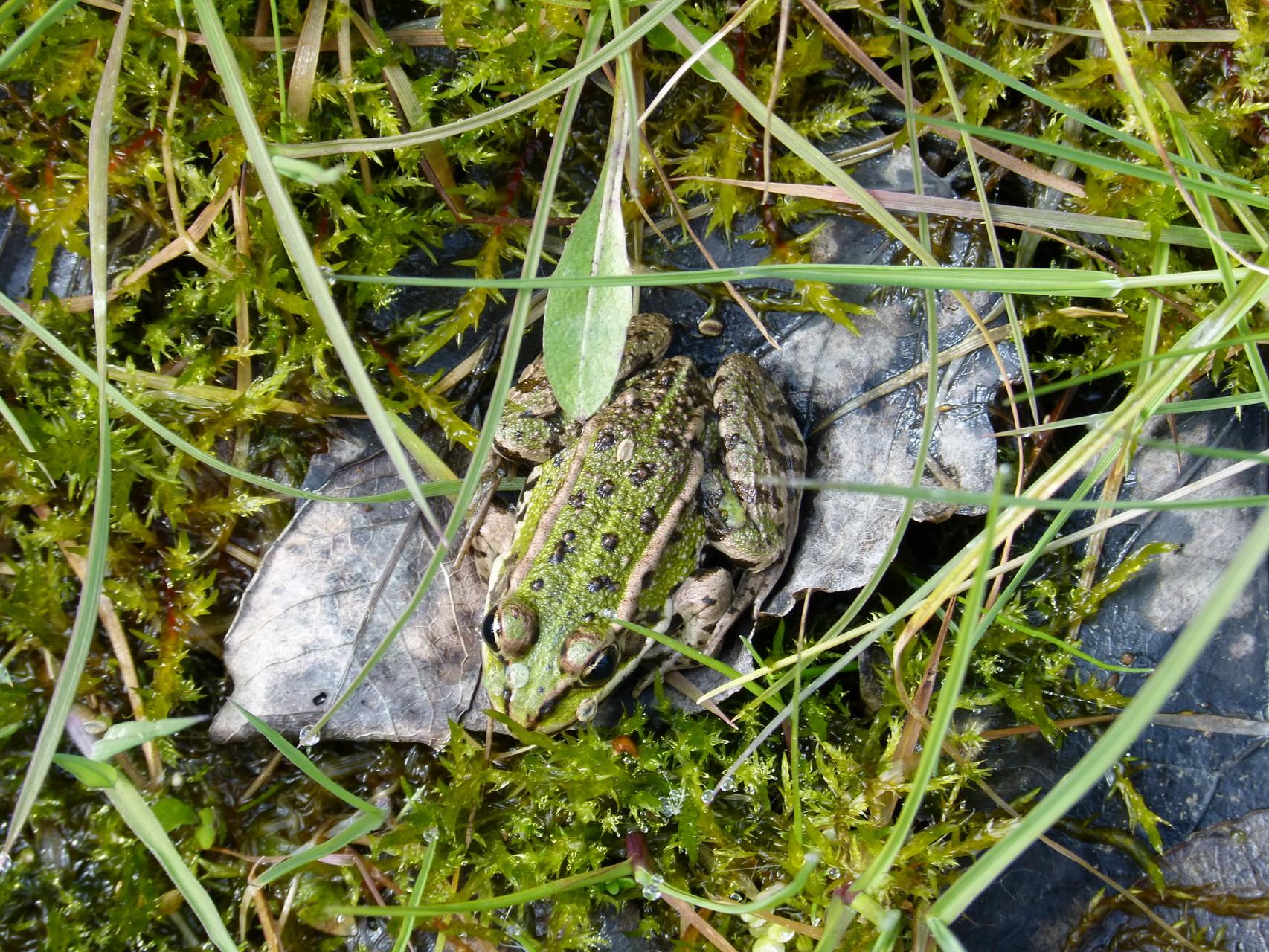 grenouille sur une feuille lac Forêt Orient