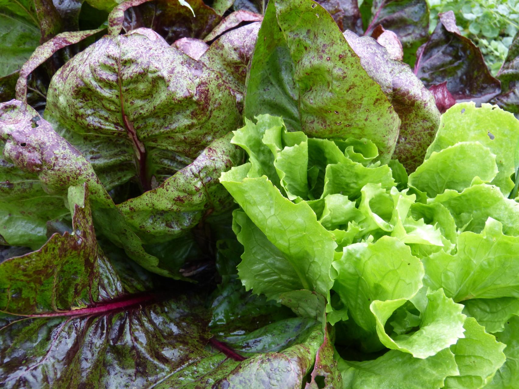 salade prête à être cueillies mai 2015