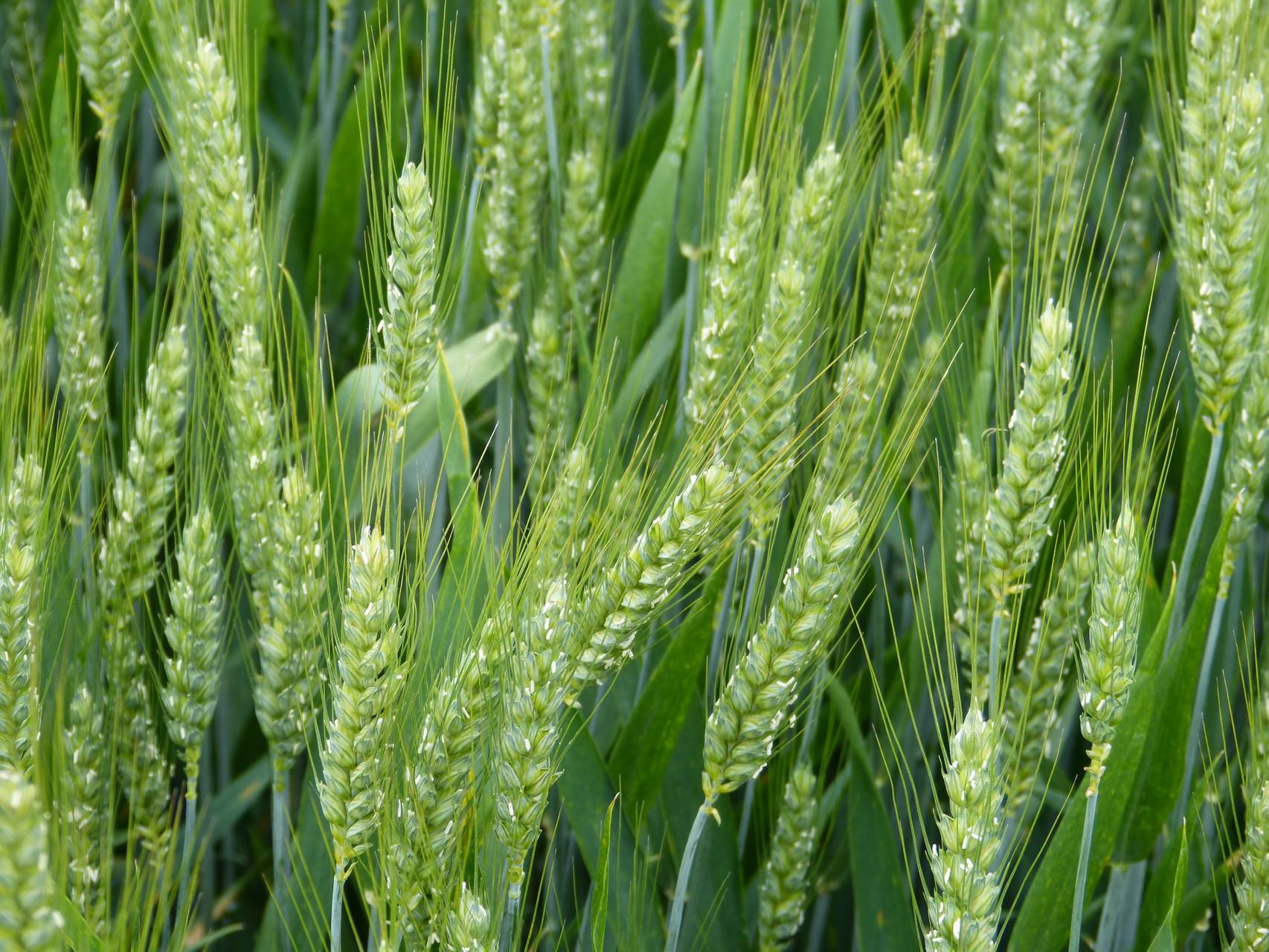 blé en épis en juin