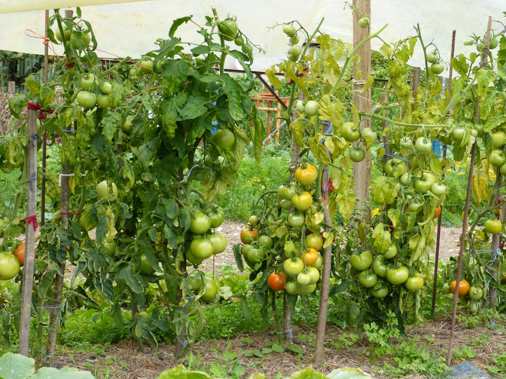 tomates qui mûrissent septembre 2015