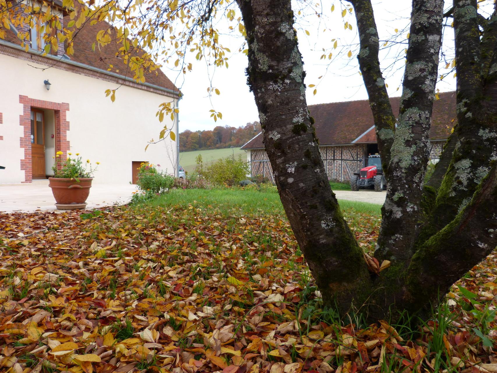 chute des feuilles du cerisier automne 2015