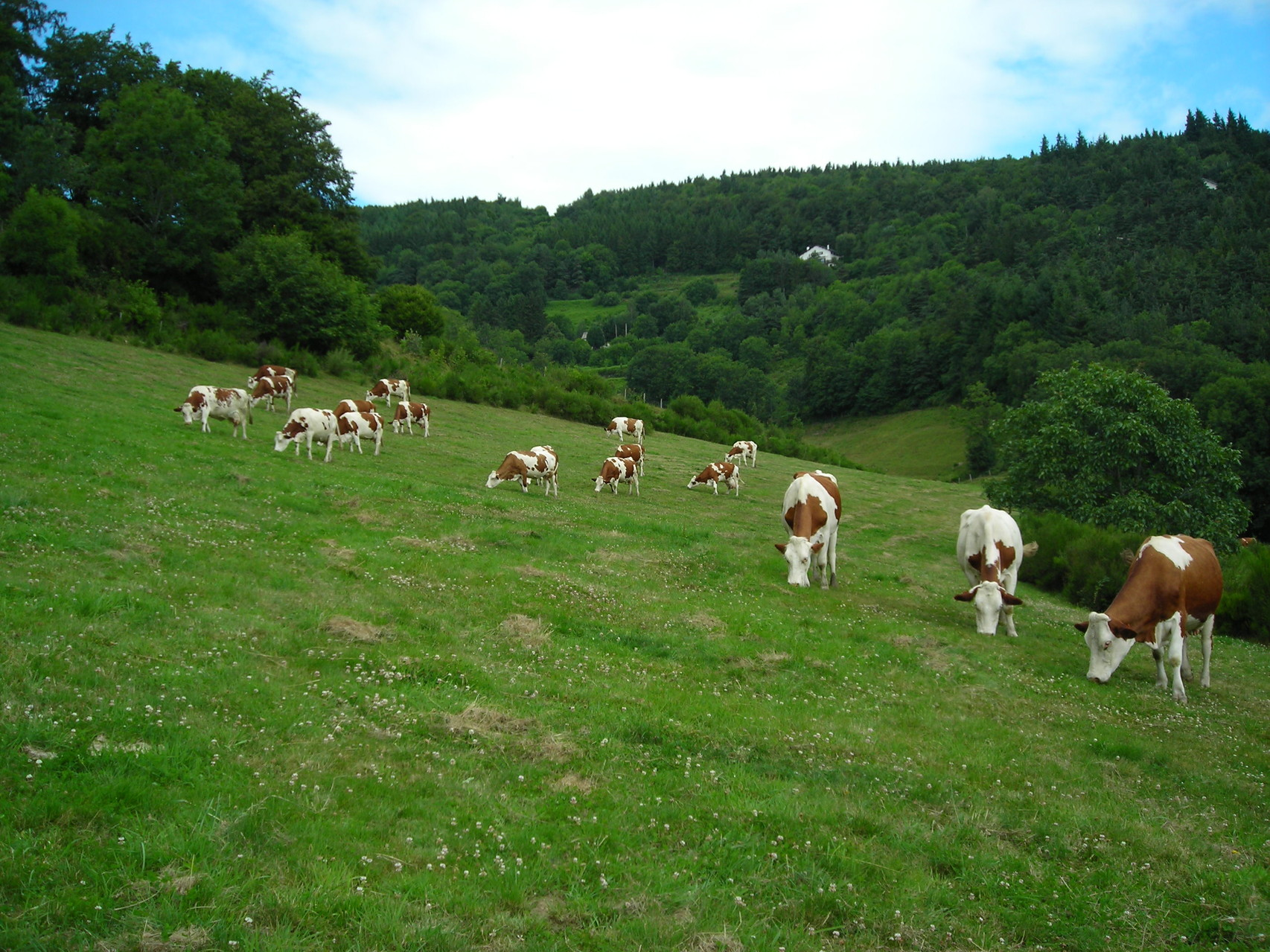 vaches au paturage