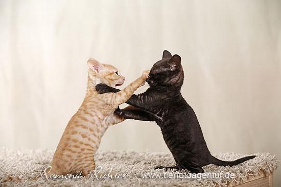 2 URX-Kitten aus dem F-Wurf der Cattery Iset's, Züchter: Björn Jänicke