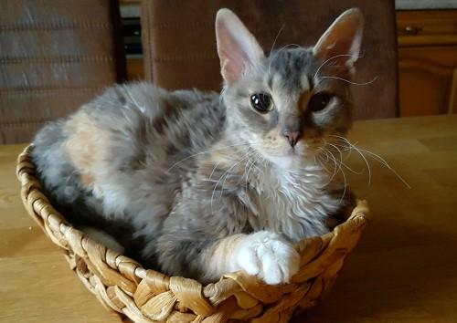 Ch. Amanda Grateful Cat, URX, blue-torbie- white, Züchter: Larisa Koloskova, Besitzer: Sabine Ulbricht