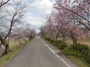 武丈の寒桜【西条市】