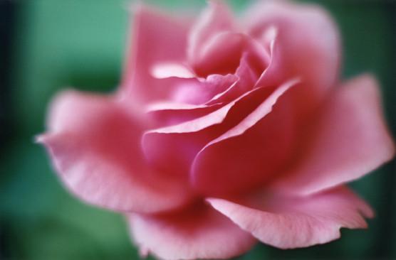 © Rose sucrée