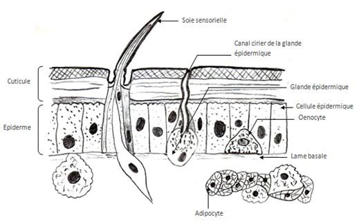 Dessin d'observation des cellules associées à l'épiderme des arthropodes (d'aprés Beaumont André et Cassier Pierre modifié)