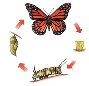 Figure 14 : Développement holométabole d'un Lépidoptère © Larousse