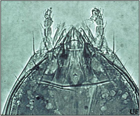 Figure 4 : Face supérieure de la tête, les pièces buccales sont sorties de la capsule céphalique. Photo © Christopher Tipping