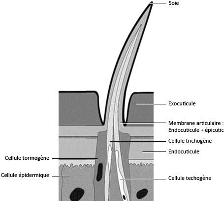 Figure 17 : Schéma d'une soie sensorielle (sensille)