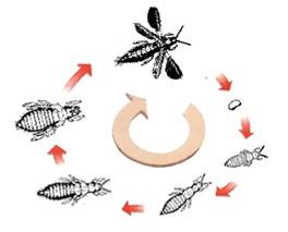 Figure 12 : Développement étérométabole néométabole / remétabole d'un Thysanoptère © entomoLOGIC