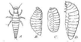 Figure 15 : Hypermétamorphose chez Sitaris (Meloidae) A : triogulin ; B : larve secondaire ; C : hypnothèque ; D : Stade III. © Paulian