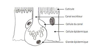 Dessin d'une cellule glandulaire épidermique