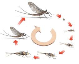 Figure 13 : Développement d'un Ephéméroptère © entomoLOGIC