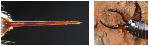Figure 42 : Aiguillon de Frelon commun à gauche (www.vespa-crabro.de) et Forceps d'un forficule à droite (jaivu.physiotek.com)