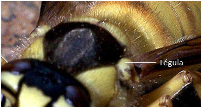 Figure 38 : Zoom sur les tégulas d'une espèce de frelon
