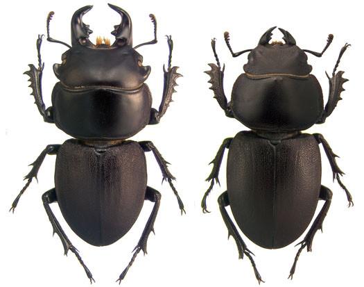 http://www-museum.unl.edu/research/entomology/Guide/Scarabaeoidea/Lucanidae/LUC/APT/bacchus.jpg