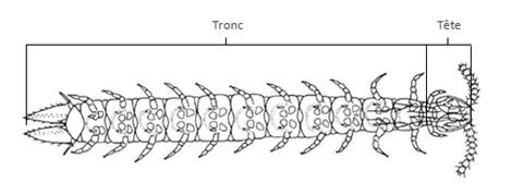 Tagmatisation d'un Myriapode (d'aprés Beaumont et Cassier modifié)