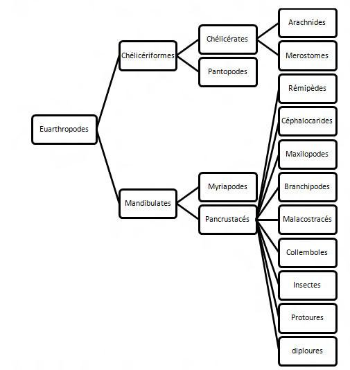 Systèmatique des Euarthropodes