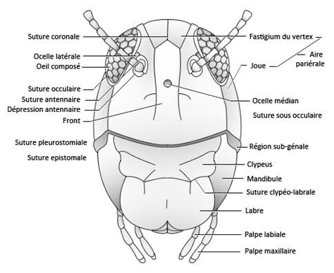 Figure 26 : photo et schéma montrant les sutures et régions crâniennes visibles en vue frontale © entomoLOGIC (photo : http://www.deviantart.com)