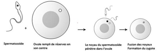 Formation du zygote