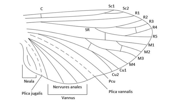 Figure 37 : Schéma d'une aile type