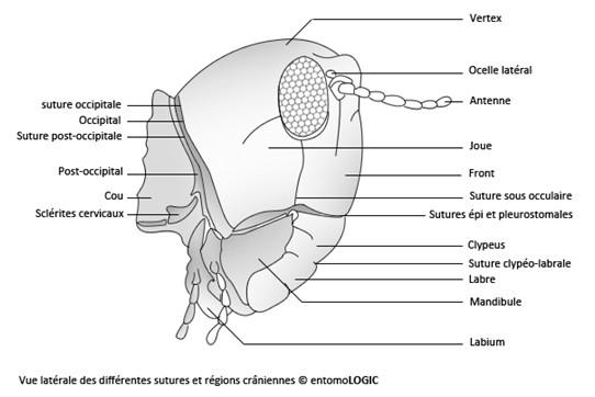 Figure 27 : photo et schéma montrant les sutures et régions crâniennes visibles en vue latérale © entomoLOGIC (photo : http://www.deviantart.com)