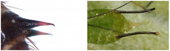 Figure 41 : Urogomphes d'une larve de Dermestes sp. (www.ensam.inra.fr) à gauche et cornicules de puceron à droite (entomofaune.qc.ca)