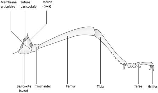 Figure 36 : Schéma type d'une patte d'insecte