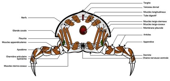 Un métamère d'Arthropode