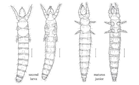 Figure 10 : Développement Post-embryonnaire d'Acerentomon affine – La prélarve présente 9 segments abdominaux, les autres segments sont ajoutés un par un après les différentes mues ( Nosek 1973, François 1960)