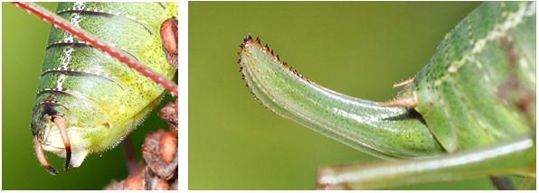 Figure 40 : Cerque d'une sauterelle mâle à gauche et oviscapte d'une sauterelle femelle à droite (photo : lejardindelucie.blogspot.fr)