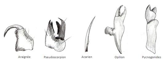 Morphologie de diverses chélicères