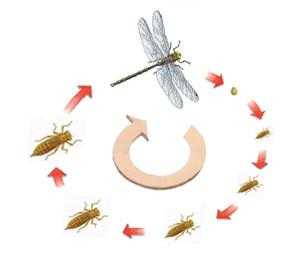 Figure 10 : Développement hétérométabole hémimétabole d'un Odonatoptère © entomoLOGIC